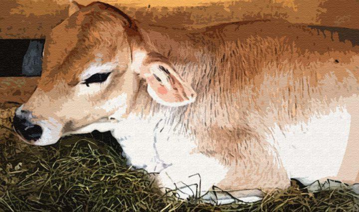 Как сын богача родил теленка