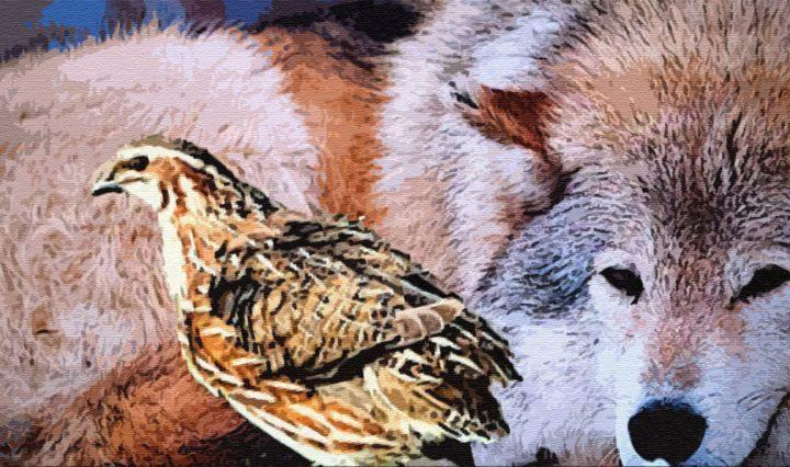 Волк и перепелка
